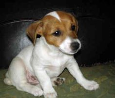 Jack Russel Puppy.  Ahh!  : )