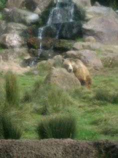 Grizzly (San Francisco Zoo)                                                                                                                                                           Grizzly                                                             ..