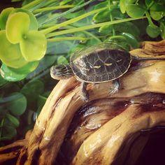 Baby schildpad in de vogelkelder vanmiddag :) by heilauraa