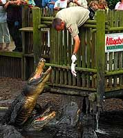 person feeding alligators