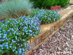 Blue Perennial Flowers? Try Lithodora (an Update with New Images!) | Hometalk
