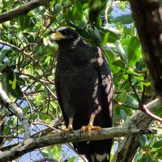 Águila pescadora en el parque haltun de celestún Yucatán
