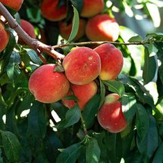I want another good crop of peaches this summer! How to care for and grow peach trees.
