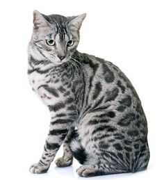 Bengal Cats silver bengal cat names - Looking For The Best Bengal Cat Names? We Have Collected 200 Awesome Ideas For You To Choose From. We Bet You Will Find Your New Kitten's Perfect Name In One Of Our Lists! Charcoal Bengal, Bengal Cat Names, Silver Bengal Cat, Bengal Cat For Sale, Kitten Names, Bengal Cats, Silver Cat, Rare Cats, Kitty Cats