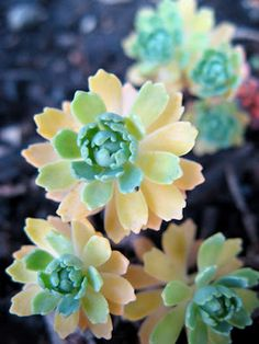 "Sedum pachyclados, succulents with cute scalloped edges. Not technically a ""flower"", definitely a smile from the Lord!"