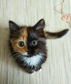 #Cats #Cat #Kittens #Kitten #Kitty #Pets #Pet #Meow #Moe #CuteCats #CuteCat #CuteKittens #CuteKitten #MeowMoe ... http://www.meowmoe.com/43901/