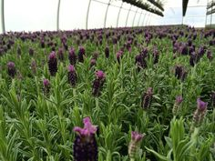A Reversed Look of Spring for our lavender fields in Canada | FIORI Oakville