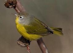 Nashville Warbler, Identification, All About Birds - Cornell Lab of Ornithology