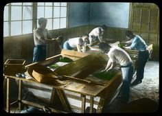 "Rolling and drying tea leaves in paper ""pans"" Enami Studio Lantern Slide No : 590. About 1920's, Japan"