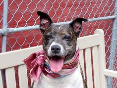 TO BE DESTROYED - SUNDAY - 8/31/14~ Manhattan Center -P  DUCHESS - A0798433  *** RETURNED AS A STRAY ON 8/20/14 *** AVERAGE HOME ***  SPAYED FEMALE, BL BRINDLE / WHITE, PIT BULL MIX, 7 yrs STRAY - ONHOLDHERE, HOLD FOR ID Reason STRAY  Intake condition EXAM REQ Intake Date 08/20/2014, From NY 10456, DueOut Date 08/23/2014,