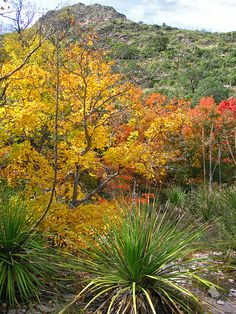 autumn, McKittrick Canyon Trail, Guadalupe Mountains National Park, Texas