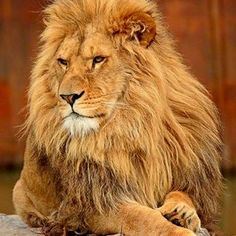 Lion Images, Lion Pictures, Amazing Pictures, Animals And Pets, Baby Animals, Cute Animals, Beautiful Cats, Animals Beautiful, Lion Spirit Animal