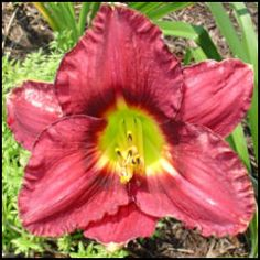 Growing daylilies from seed. And on a budget. The seeds are inside those stunted looking, roundish pods that appear after a plant loses all its blooms. Yes siree have more daylilies from seeds without paying a cent. But first, there are a few things to know. Pictured is a dark magenta seedling bloom with burgundy eyezone and yellow throat