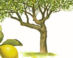 Lemon Tree Art Print - Lemon Tree Illustration - Tree Art - Lemon Leaf - Lemon Tree Decor.  This original botanical illlustration comes from the 1960s; printed in France.  ... #agriculture ➡️ http://jto.li/t5E5z