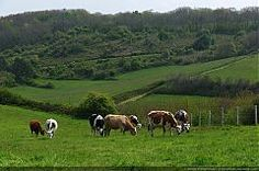 Vaches_normandes_-01.JPG