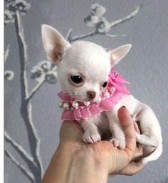 White Chihuahua baby so cute