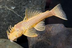 Albino Bristlenose Plecostomus (Ancistrus sp. temmencki)