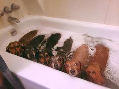 Dachshund Products, Apparel and Gifts Dachshund Clothes, Mini Dachshund, Dachshund Puppies, Cute Puppies, Dogs And Puppies, Daschund, Dapple Dachshund, Dachshund Gifts, Chihuahua Dogs