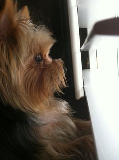 Do you see what Macy Grace sees? My yorkie loves to look at the birds in the backyard!must be a yorkie thing Yorky Terrier, Yorshire Terrier, Bull Terriers, Yorkies, Yorkie Puppy, Cute Puppies, Cute Dogs, Rescue Puppies, Animals Beautiful