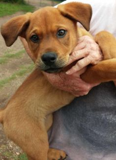 Petey Hound  Beagle Mix • Baby • Male • Medium Humane Society of Marion County Jefferson, TX