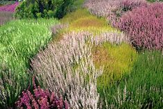 Heaths (Erica) and Heathers (Calluna) are low growing shrubs for well-drained sites. Endless varieties of color (both flower and foliage) and bloom times are available. Meadow Garden, Rain Garden, Garden Landscape Design, Garden Landscaping, Outdoor Plants, Garden Plants, Tantra, Heather Plant, Acid Loving Plants