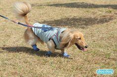 HUG ANIMALSで試着しました♪ #ミニチュアダックスフンド #犬の靴下 #犬の靴 #ブルー #dogsoks #dogboots #docdog #SPORTPAWKS #スポーツパウクス #RCPetProducts #アールシーペットプロダクツ
