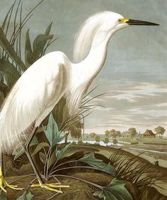Snowy Heron, or White Egret | John James Audubon's Birds of America