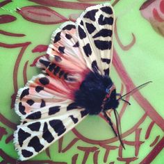 Patterned #moth