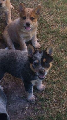 Cooroorah Australian Cattle Dogs