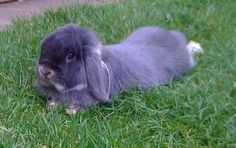 Blue Otter Mini Lop Bunnies, Bunny Rabbits, French Lop, Dutch Rabbit, Netherland Dwarf, Rabbit Breeds, Selective Breeding, Holland Lop, Unusual Things