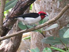 Bird Photos, Birding Sites, Bird Information: RED-CAPPED CARDINAL, CARONI NATIONAL PARK, TRINIDA...