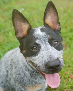 Queensland Blue Heeler Australian Cattle-Dog Puppy Dogs