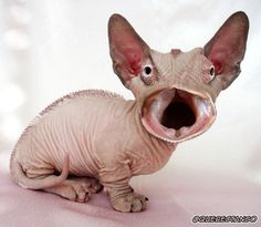26 Pics of weird photoshopped animals Creepy Animals, Ugly Animals, Creepy Cat, Cute Animals, Hilarious Animals, Bambino Kitten, Photoshopped Animals, Ugly Cat, Ugly Dogs