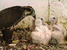 Nachwuchs & Küken - Adlerarena Burg Landskron Owl, Animals, Golden Eagle, Nursing Care, Pictures, Animales, Animaux, Owls, Animal