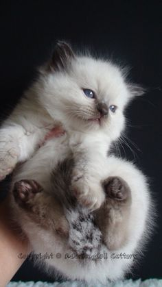 Chocolate Point ragdoll kitten - I have one grown 1/2 ragdoll and now I need another! It's an addiction, I tell you! (If I could have six ragdoll kittens at once, it would be like a field of very dirt-loving, cuddly, vocal pom-poms.)