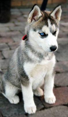 Cuty Husky!