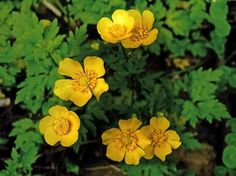 Rönsyleinikki, Ranunculus repens Wild Flowers, Flora, Planting Flowers, Plants, Forest Flowers, Beautiful Tree, Trees To Plant, Flowers, Nature