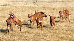 The Pack-Rhodesian Ridgebacks, via Flickr.