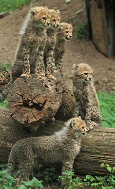 Five Cheetah Cubs. (Photo By: J.A. Kok.)