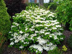 Evergreen Viburnum Shrubs | Evergreen Shrub Viburnum » Viburnum plicatum tomentosum Shasta