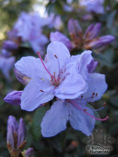 Buy Rhododendron 'Blue Tit' plants from Burncoose Nurseries RHODODENDRON HYBRIDS |