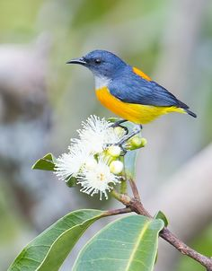 The Orange-bellied Flowerpecker (Dicaeum trigonostigma) is a species of bird in the Dicaeidae family. It is found in Bangladesh, Brunei, India, Indonesia, Malaysia, Myanmar, the Philippines, Singapore, and Thailand./by Chong Lip Mun, via Flickr