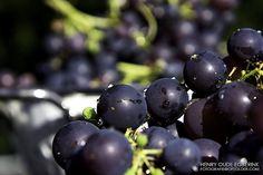Druiven aka Grapes  Een best druivenjaar, ongeacht wat die boeren uit de beemster zeggen.  #Blauw - #Blue, #Druiven - #grapes, #Eigen oogst - #own harvest, #fotografie.opzolder.com