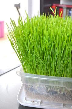 Tendance Basket 2017 – How to grow wheat grass indoors! Super easy and cheap Growing Wheat Grass, Growing Herbs, Growing Veggies, Organic Gardening, Gardening Tips, Indoor Gardening, Cat Grass, Juice Smoothie, Smoothies