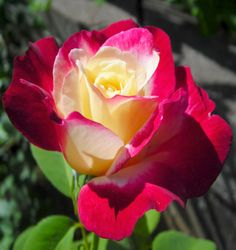 rose double color
