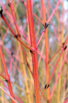 Learn how to prune red-twig dogwood for the best stem color. Great article!