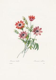 Broad-leaved anemone
