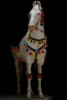 Marwari stallion, I want one. Well, maybe not a stallion. All The Pretty Horses, Beautiful Horses, Animals Beautiful, Cute Animals, Caballos Marwari, Marwari Horses, Breyer Horses, Clydesdale, Horse Photos