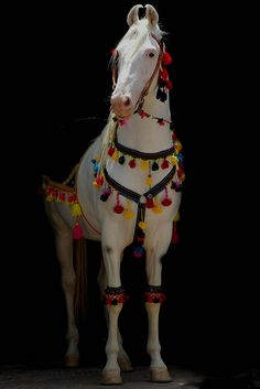 Marwari stallion.