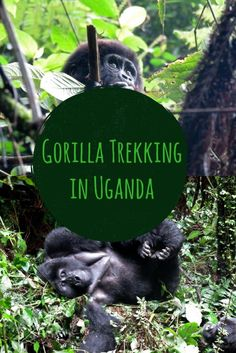 Earning It: Gorilla Trekking in Uganda